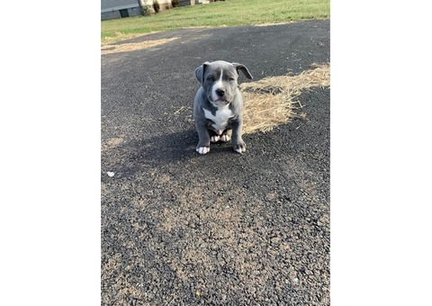 Bully pups for sale